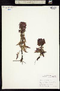 Pedicularis chamissonis image