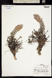 Image of Pedicularis kanei