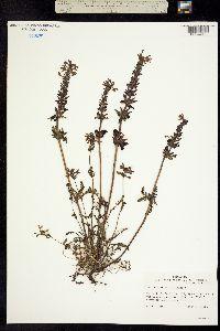Image of Pedicularis verticillata