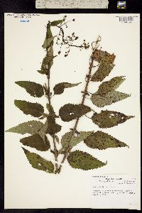 Image of Scrophularia marilandica