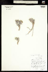 Image of Bolophyta ligulata