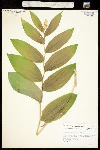 Maianthemum racemosum subsp. amplexicaule image