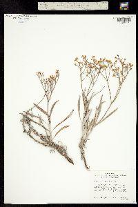 Image of Eriogonum fendlerianum