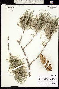 Pinus strobiformis image