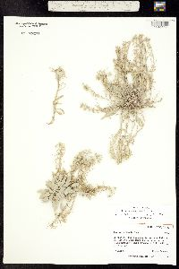 Image of Physaria osterhoutii