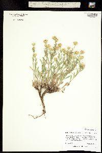 Image of Machaeranthera grindelioides