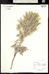 Oreocarya thyrsiflora image