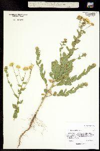 Image of Heterotheca latifolia