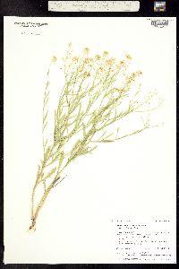 Image of Lepidium alyssoides