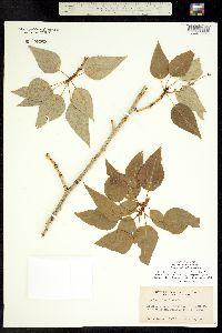 Image of Populus x brayshawii