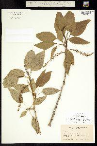 Populus X brayshawii image