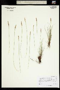 Kobresia simpliciuscula image