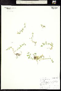 Image of Stellaria obtusa