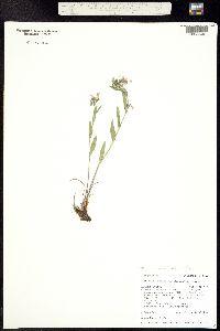 Mertensia lanceolata var. viridis image