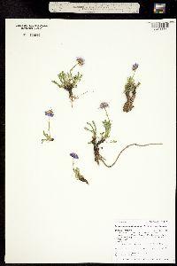 Erigeron pinnatisectus image