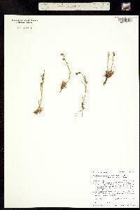 Penstemon laricifolius image