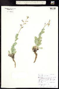 Image of Streptanthus cordatus