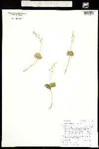 Image of Listera cordata