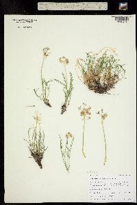 Image of Aletes lithophilus
