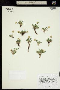 Image of Oreoxis alpina