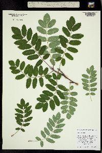 Image of Sorbus aucuparia