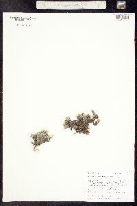 Paronychia pulvinata image