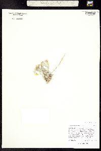 Image of Physaria calcicola