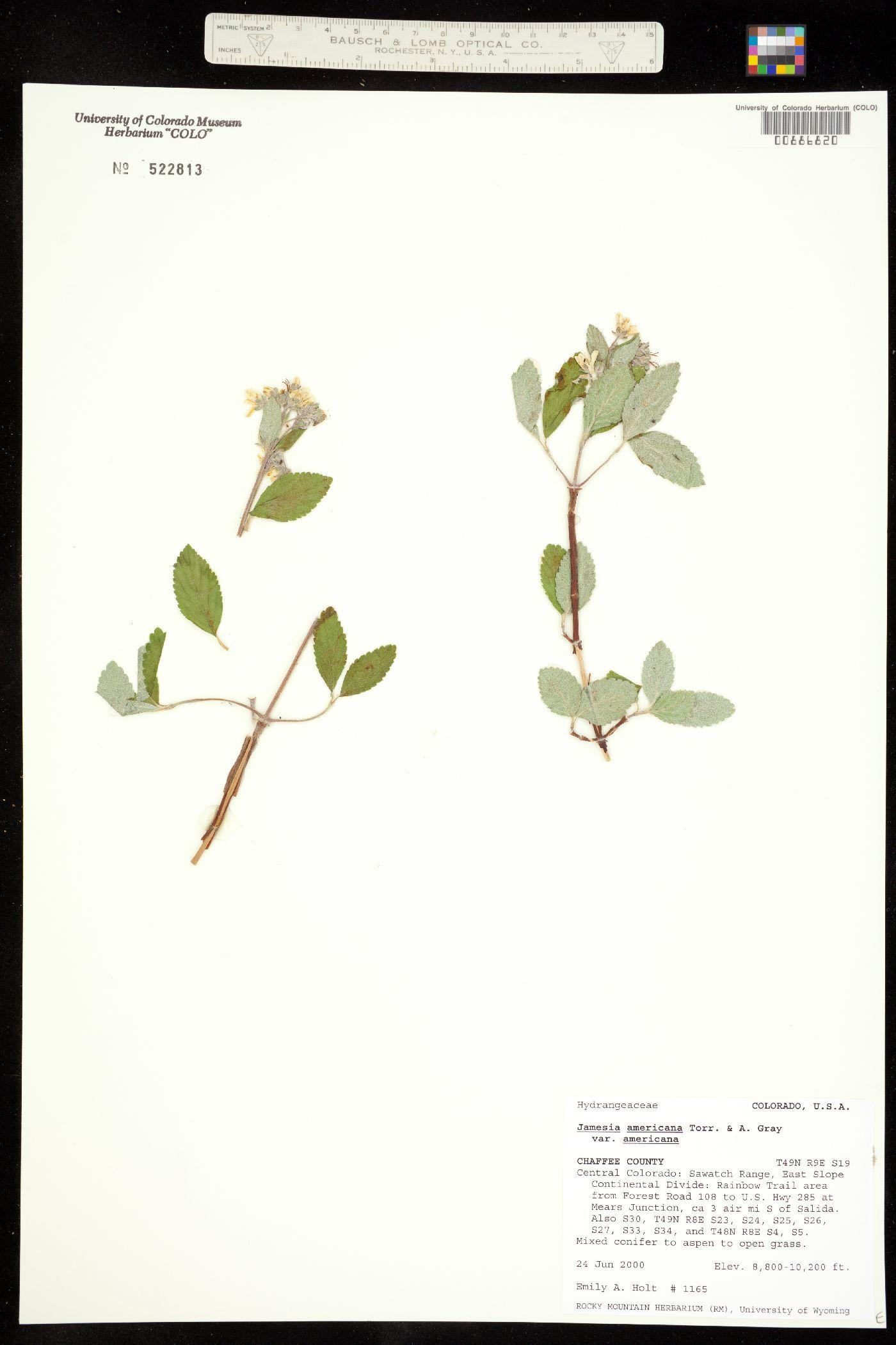 Hydrangeaceae image