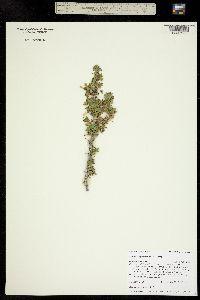 Ribes leptanthum image
