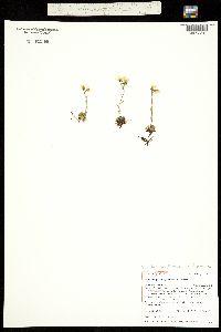 Hirculus serpyllifolius ssp. chrysanthus image