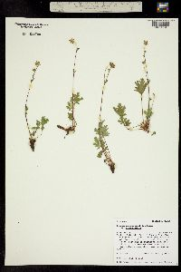 Image of Potentilla diversifolia