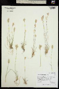 Erioneuron pilosum image