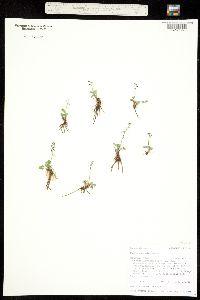 Thalictrum alpinum image