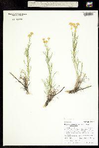 Picradenia richardsonii ssp. richardsonii image