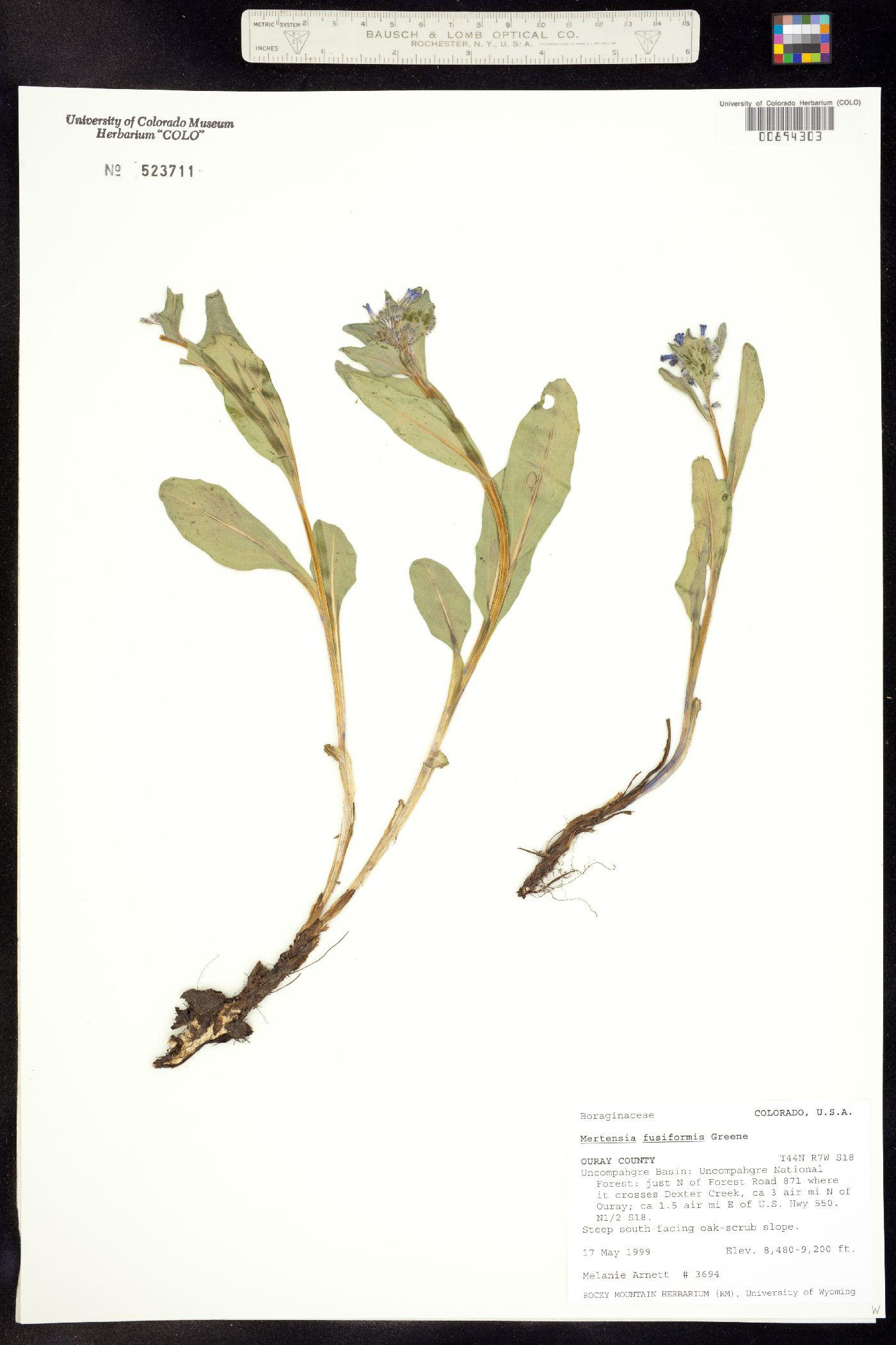 Mertensia fusiformis image