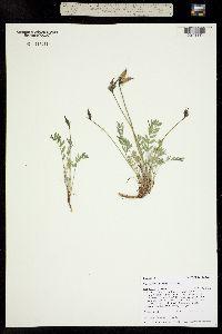 Oxytropis parryi image