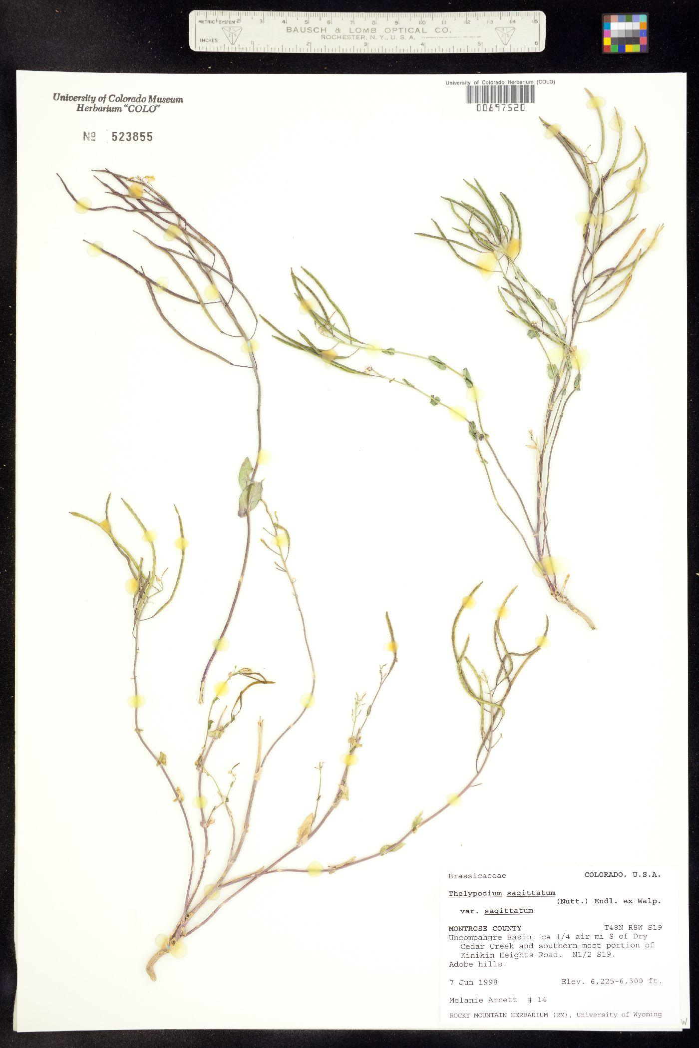 Thelypodium sagittatum ssp. sagittatum image