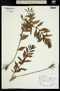 Image of Lycopus uniflorus