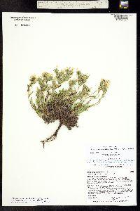 Image of Cryptantha gypsophila