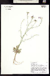 Aliciella haydenii ssp. crandallii image