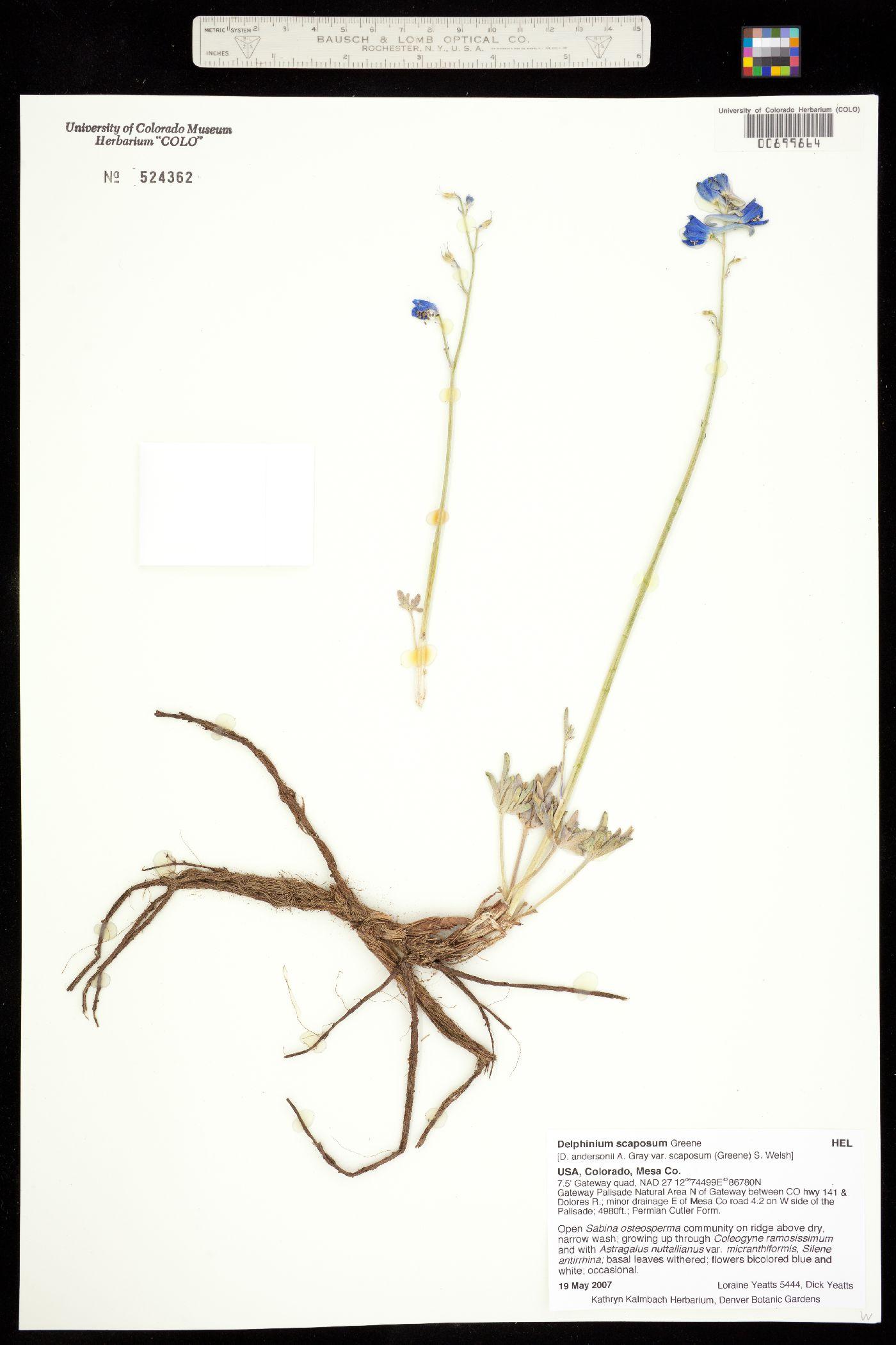 Delphinium andersonii var. scaposum image