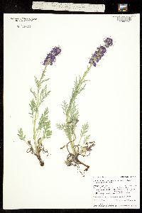 Phacelia sericea ssp. ciliosa image