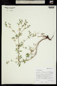 Image of Potentilla argentea