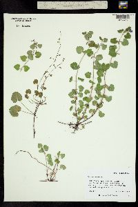 Image of Nepeta hederacea