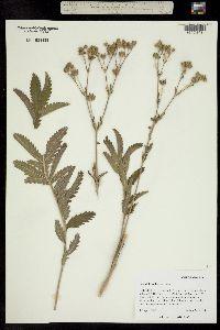 Image of Potentilla ambigens