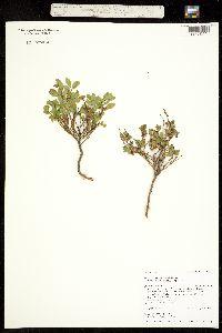 Vaccinium myrtillus var. oreophilum image