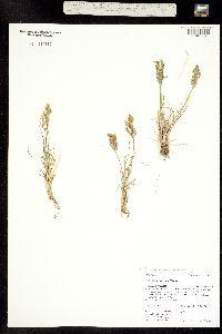 Poa abbreviata ssp. pattersonii image