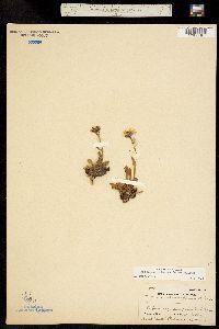 Erigeron melanocephalus image