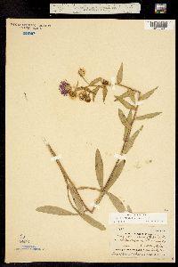 Erigeron speciosus image