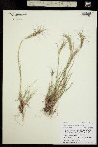 Image of Elymus scribneri
